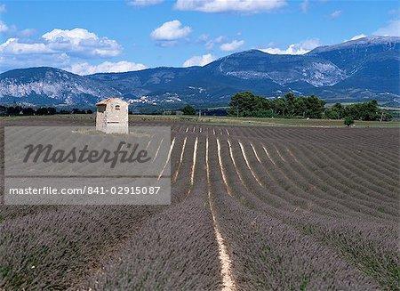 Champs de lavande, Plateau de Valesole, Alpes de Haute Provence, Provence, France, Europe