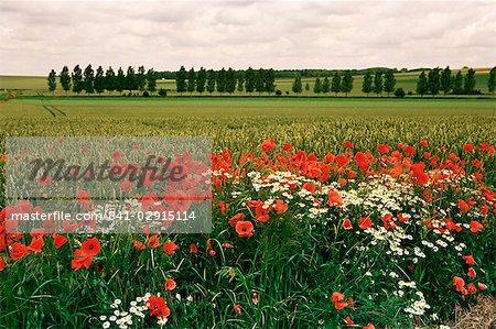 Coquelicots dans la vallée de la Somme, près de Mons, Nord-Picardie, France, Europe