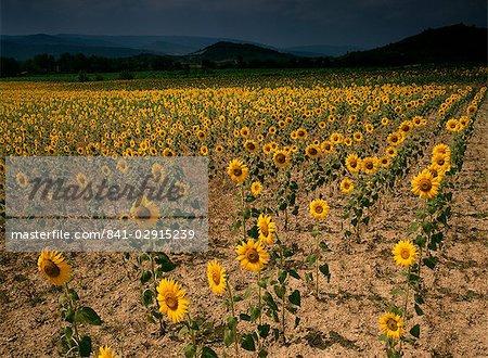 Tournesols, les Corbières, Aude, Languedoc-Roussillon, France, Europe