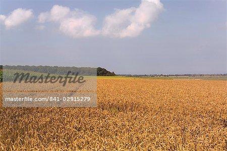 Champ de blé, Cap Hornu, Baie de la Somme, Picardie, France, Europe