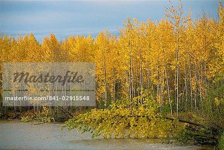 Lakeside birch trees in autumn, Ogilvie Mountains, Yukon, Canada, North America
