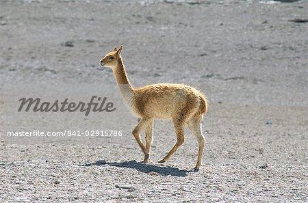 Vigogne sauvage sur l'altiplano, hautes terres du Sud-Ouest, Bolviia, Amérique du Sud
