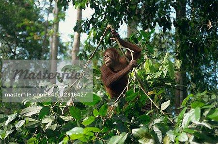 Orang-outan, centre de réadaptation des orangs-outangs Sepilok, Sabah, Malaisie, Bornéo, Asie du sud-est, Asie