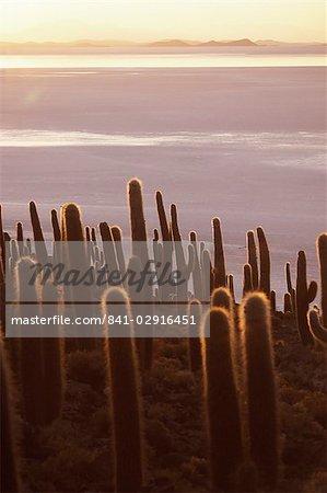 Cacti at sunset, Inkahuasa island, Salar de Uyuni, Bolivia, South America