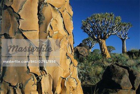 Quivertrees (kokerbooms) dans la forêt de Quivertree (Kokerboomwoud), près de Keetmanshoop, Namibie, Afrique