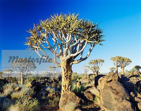 Quivertrees (Kokerbooms) dans la forêt de Quivertree (Kokerboowoud) près de Keetmanshoop, Namibie