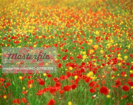 Fleurs sauvages, y compris les coquelicots dans un champ à Majorque, îles Baléares, Espagne, Europe