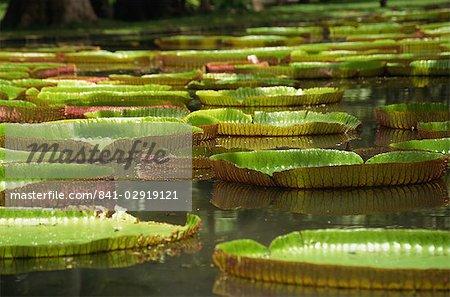 Nénuphars géants, jardins botaniques, Pamplemousses, île Maurice, Afrique