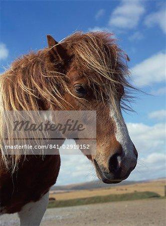 Dartmoor Pony, Devon, England, Vereinigtes Königreich, Europa