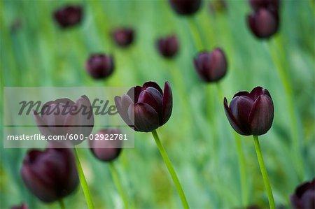 Domaine de la Reine de la nuit tulipes