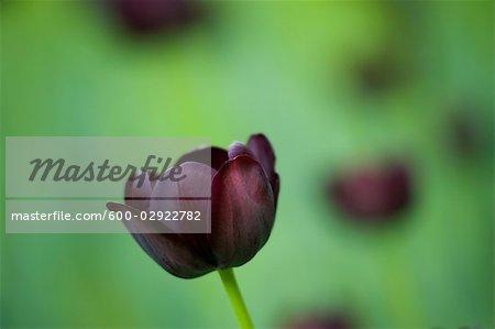 Gros plan de la Reine de tulipe de nuit