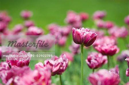 Champ de tulipes lilas de la Perfection