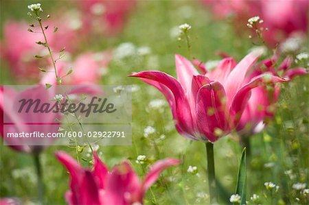 Champ de tulipes roses