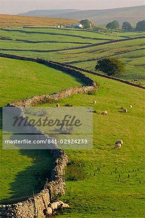 Murs en pierre et des moutons, près de Ribblehead, Yorkshire, Angleterre, Royaume-Uni, Europe