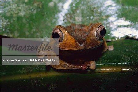 File eared tree frog (Polypedates otilopus) in virgin rainforest in Danum Valley Conservation Area, Sabah, Malaysia, Borneo, Southeast Asia, Asia
