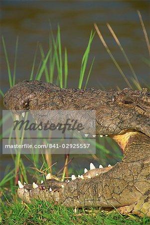 Crocodile se dorer au soleil sur la berge, Masai Mara, Kenya, Afrique de l'est, Afrique