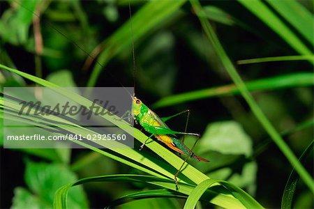 Sauterelle accrochés aux herbes pour la nuit, Sukau Sabah, Malaisie, Bornéo, l'Asie du sud-est, Asie