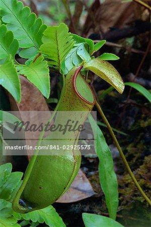 Nepenthes reinwardtiana, rare plante carnivore de diptérocarpacées forêt tropicale, la vallée de Danum, Sabah, Malaisie, Bornéo, l'Asie du sud-est, Asie