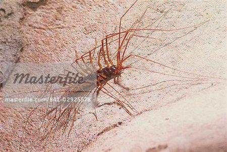 Soutigeromorph centipedes hunt cave crickets, Deer Cave, Mulu National Park, Sarawak, Borneo, Malaysia, Southeast Asia, Asia