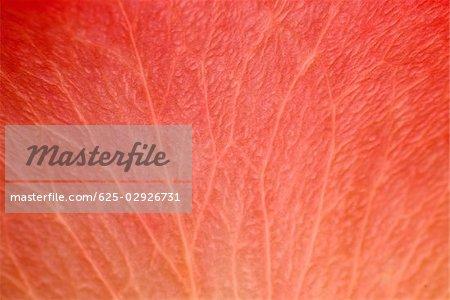 Gros plan d'un pétale rouge d'une fleur