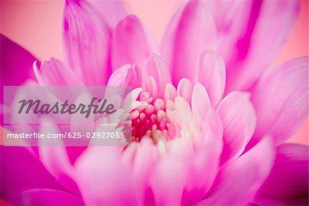 Gros plan d'une fleur rose