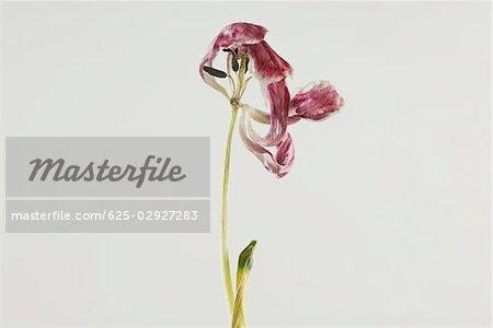Gros plan d'une fleur sèche