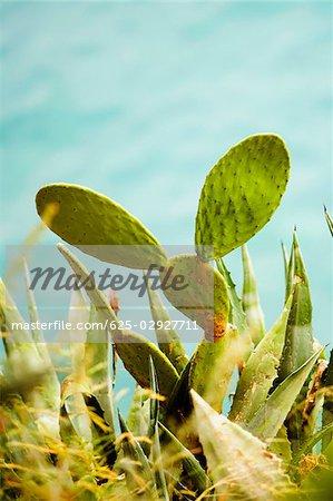 Close-up of cactus, Amalfi Coast, Salerno, Campania, Italy