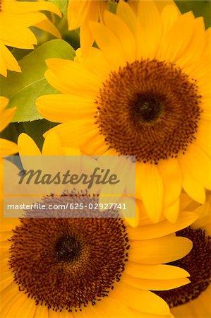 Close-up of sunflower, Cinque Terre National Park, La Spezia, Liguria, Italy