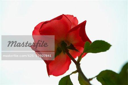 Close-up of a flower, Positano, Amalfi Coast, Salerno, Campania, Italy