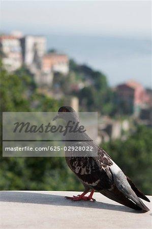 Close-up of a pigeon, Vietri sul Mare, Costiera Amalfitana, Salerno, Campania, Italy