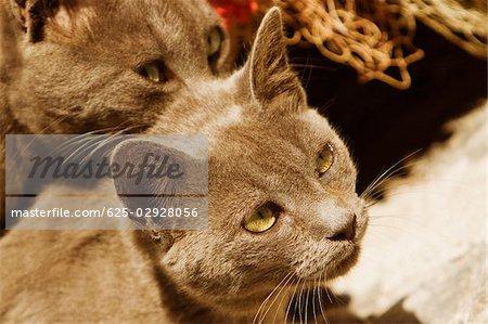Close-up of cats, Sorrento, Sorrentine Peninsula, Naples Province, Campania, Italy