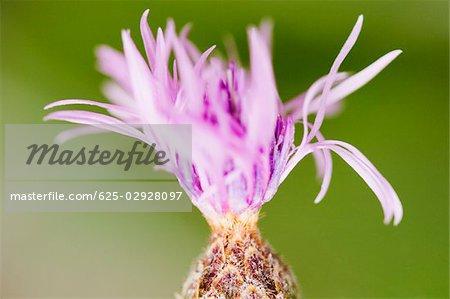 Close-up of a flower, Cinque Terre National Park, La Spezia, Liguria, Italy