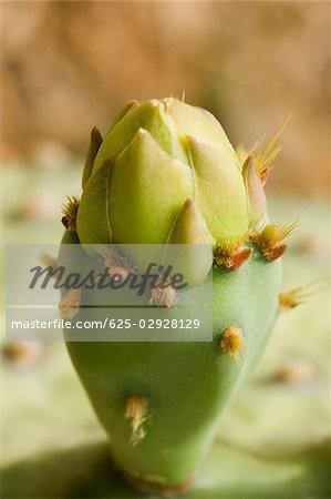 Close-up of cactus, Cinque Terre National Park, La Spezia, Liguria, Italy