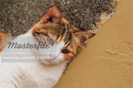 Close-up of a cat, Cinque Terre National Park, Vernazza, La Spezia, Liguria, Italy