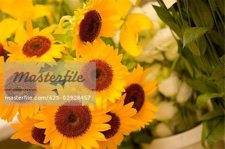 Close-up of sunflowers, La Spezia, Liguria, Italy