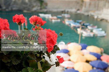 Close-up of flower on plant, Italian Riviera, Cinque Terre National Park, Il Porticciolo, Vernazza, La Spezia, Liguria, Italy