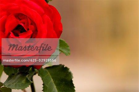 Gros plan d'une rose, Parc National des Cinque Terre, La Spezia, Ligurie, Italie