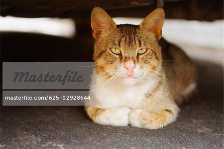 Close-up of a cat, Positano, Amalfi Coast, Salerno, Campania, Italy