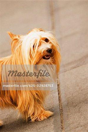 Side profile of a dog, Piazza Flavio Gioia, Costiera Amalfitana, Amalfi, Salerno, Campania, Italy