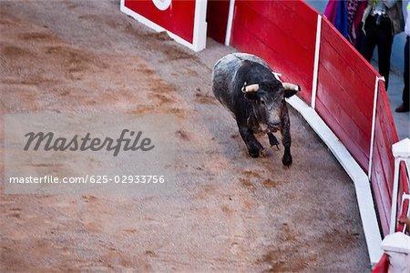 Vue grand angle sur un taureau dans une arène, Plaza De Toros San Marcos, Aguascalientes, Mexique