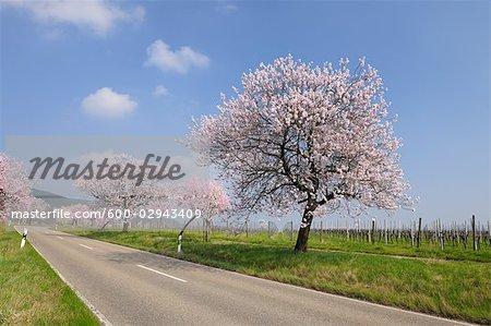 Almond Trees Along Road, Gimmeldingen, Rhineland-Palatinate, Germany