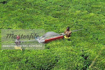 Mechanized tea picking, Uganda, East Africa, Africa