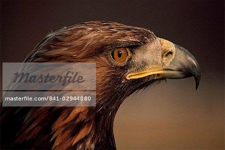 Aigle d'or, la région des Highlands, Ecosse, Royaume-Uni, Europe