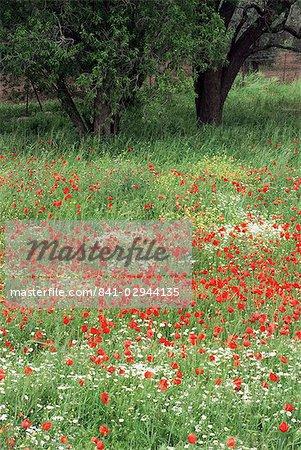 Champ de fleurs sauvages avec des coquelicots, Lesbos, Grèce, Europe