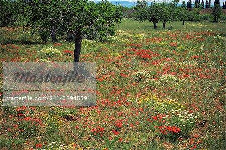 Poppies, Majorca, Balearic Islands, Spain, Europe