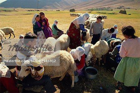 Traire les brebis, Kurdistan, Anatolie, Turquie, Asie mineure, Eurasie