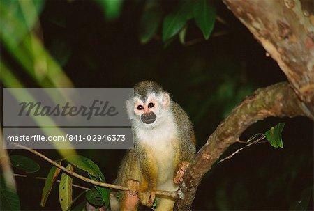 Singe-écureuil (Saimiri primates) debout sur une branche, Manuel Antonio, Quepos, Puntarenas, Costa Rica, Amérique centrale
