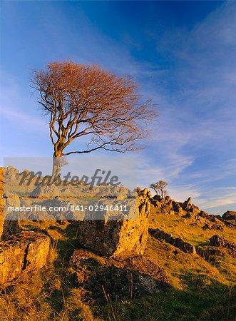 Arbre nu sur l'affleurement rocheux, Parwich, Hartington, Parc National de Peak District, Derbyshire, Angleterre, Royaume-Uni, Europe