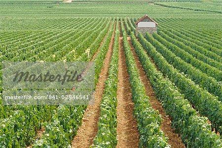 Meursault Genevrieres Premier Cru vineyard, Cote de Beaune, France, Europe