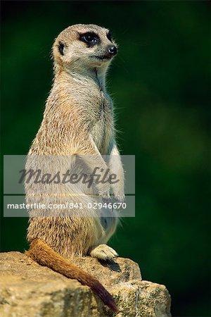 Erdmännchen auf Suche, Marwell Zoo, Hampshire, England, Vereinigtes Königreich, Europa
